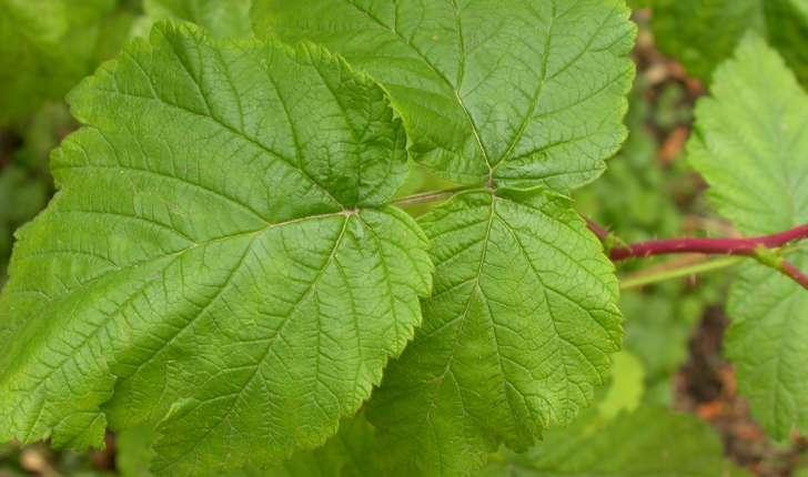 Rubus idaeus (L., 1753)