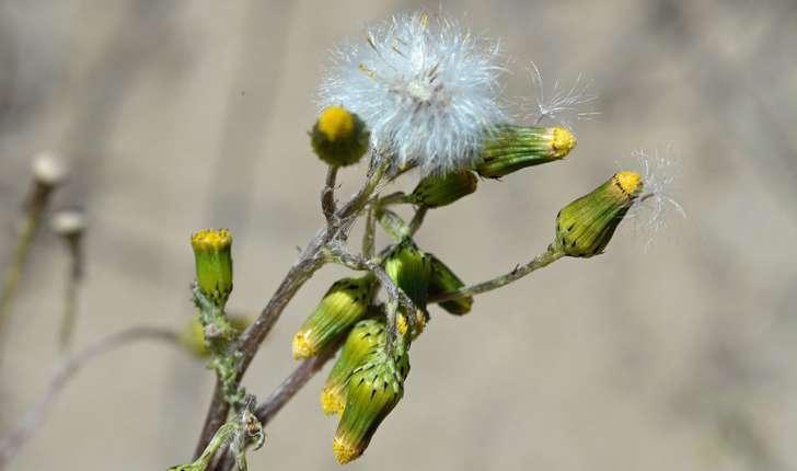 Senecio vulgaris (L., 1753)