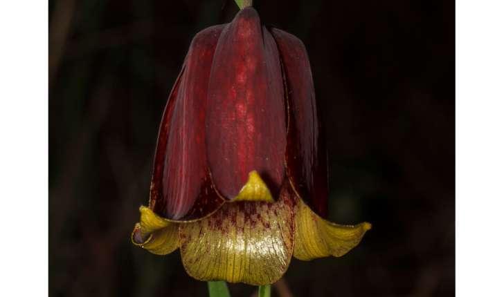 Fritllaria sp.