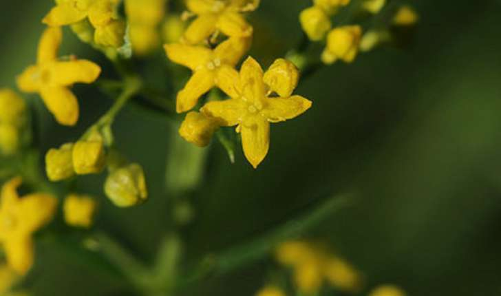 Galium verum (L. 1753)