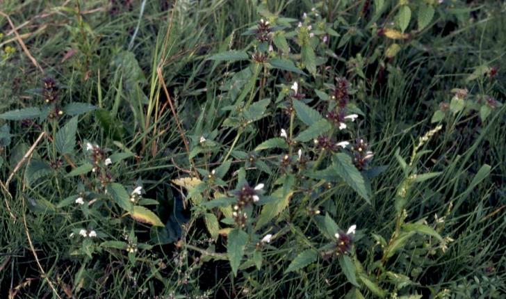 Galeopsis tetrahit L., 1753