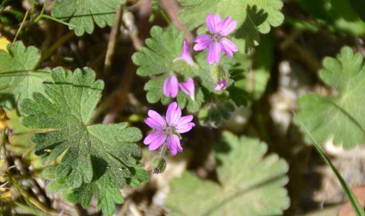 Geranium molle (L., 1753)