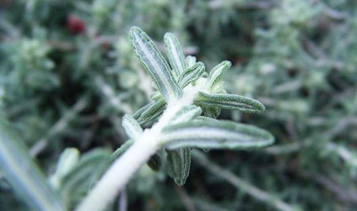 Teucrium polium subsp. purpurascens (Benth.) S.Puech