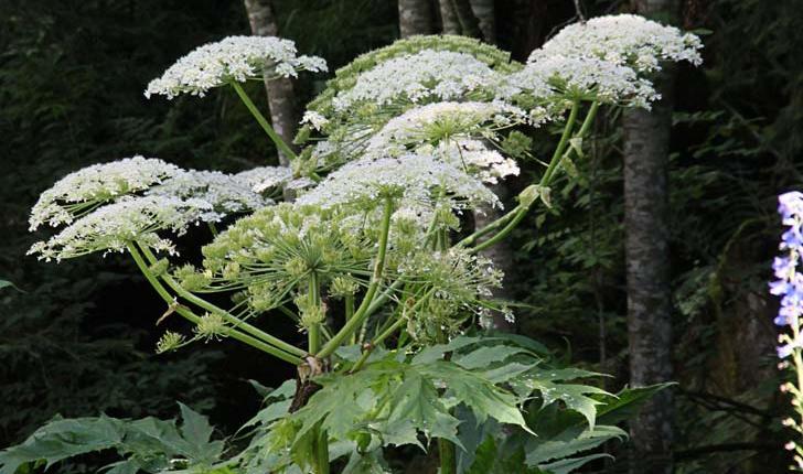 Heracleum sphondylium L.