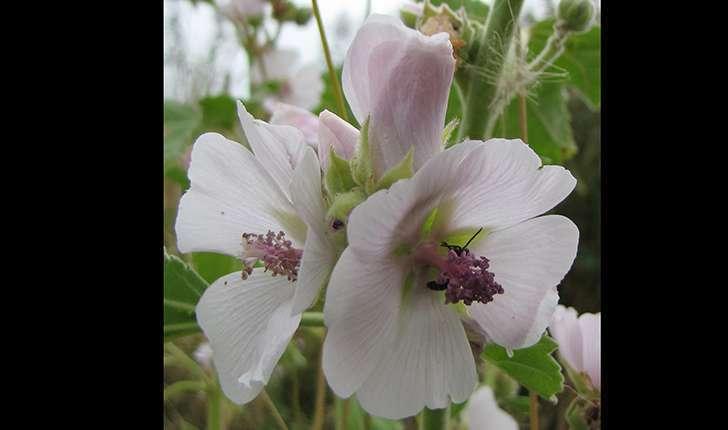 Althaea officinalis (L.1753)