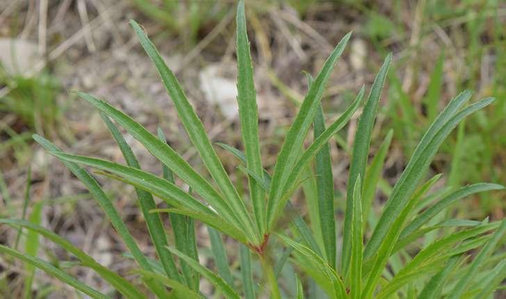 Helleborus foetidus (L., 1753)