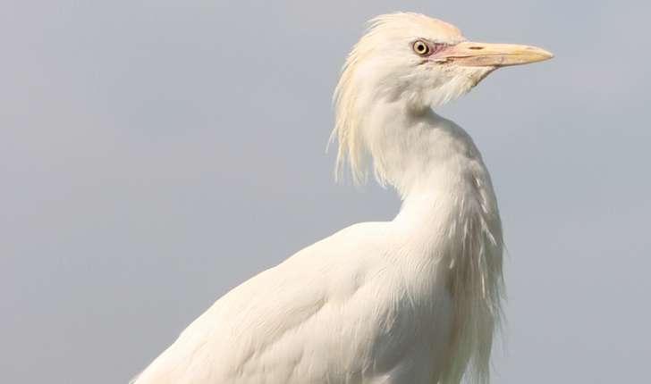 Bubulcus ibis (Linnaeus, 1758)
