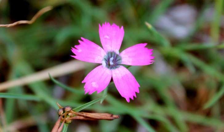Dianthus pavonius (Tausch, 1839)