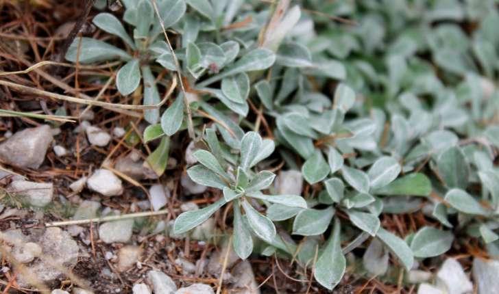 Antennaria dioica ((L.) Gaertn., 1791)