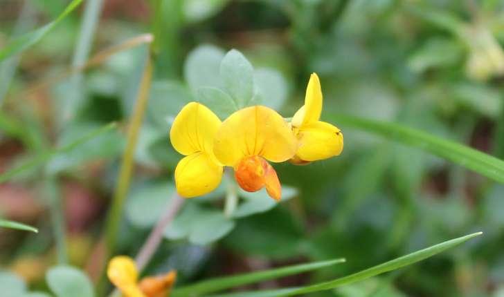 Lotus corniculatus subsp. alpinus ((DC.) Rothm., 1963)