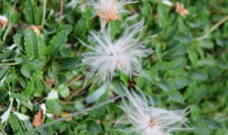 Dryas octopetala (L., 1753)