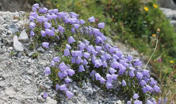Campanula cochleariifolia (Lam., 1785)