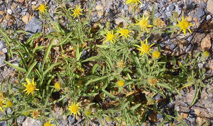 Inula montana (L., 1753)