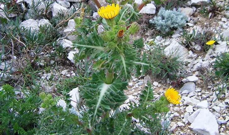 Sonchus asper subsp. glaucescens (Jord.) P.W.Ball