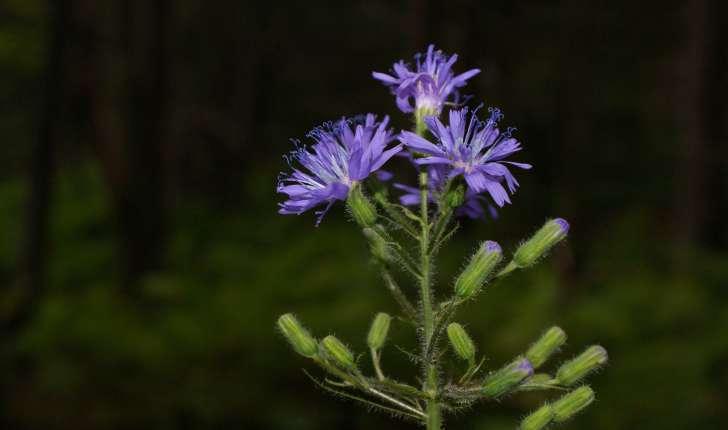 Lactuca alpina (Benth. & Hook.f., 1876)