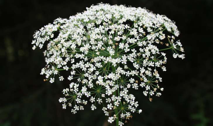 Laserpitium latifolium (L., 1753)