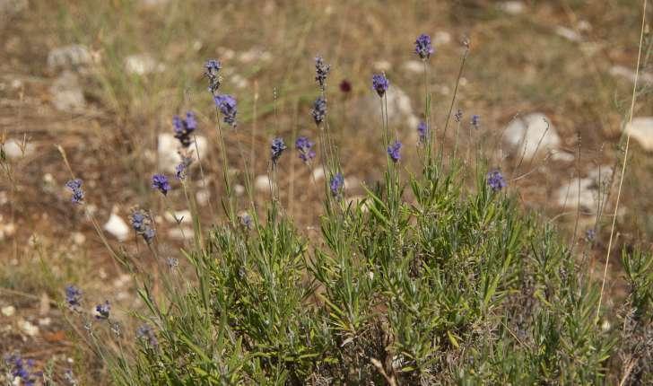 Lavandula angustifolia (Miller, 1768)