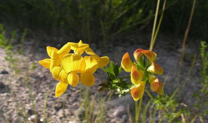 Lotus corniculatus (L., 1753)