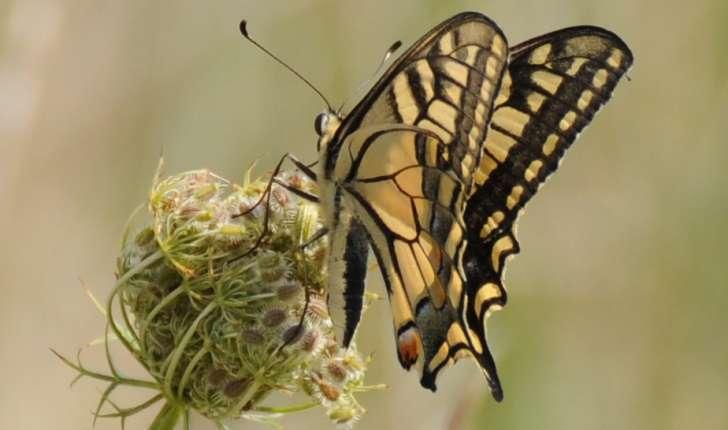 Papilio machaon (Linné, 1758)