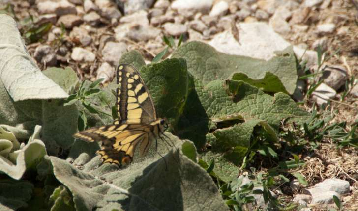Papilio machaon (Linné, 1758)