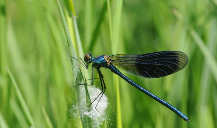 Caloptéryx éclatant - Mâle (Crédits : Thomas Bresson - Flickr)