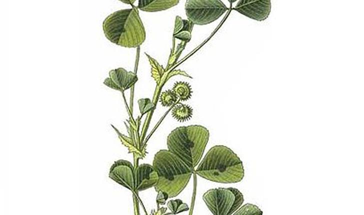Medicago maculata