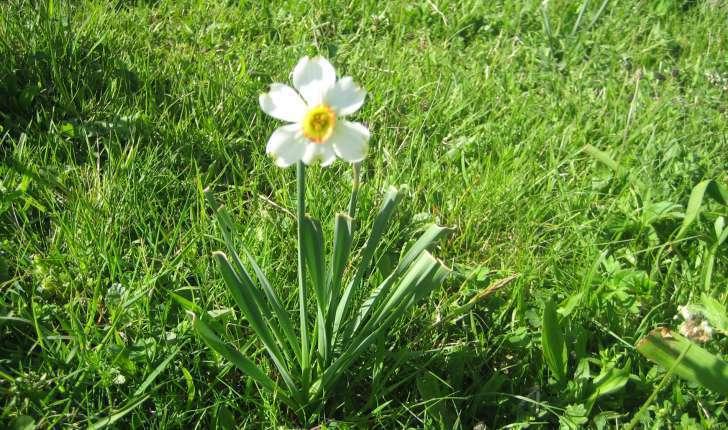 Narcissus poeticus subsp. radiiflorus (Salisb.) Baker