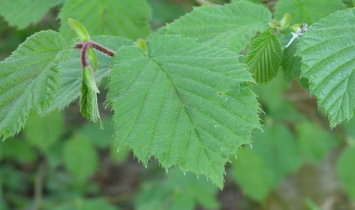 Corylus (L., 1753)