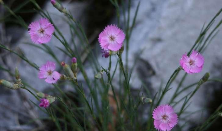 Dianthus sylvestris sp