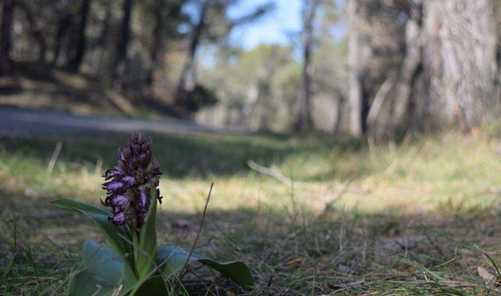 Orchis SP