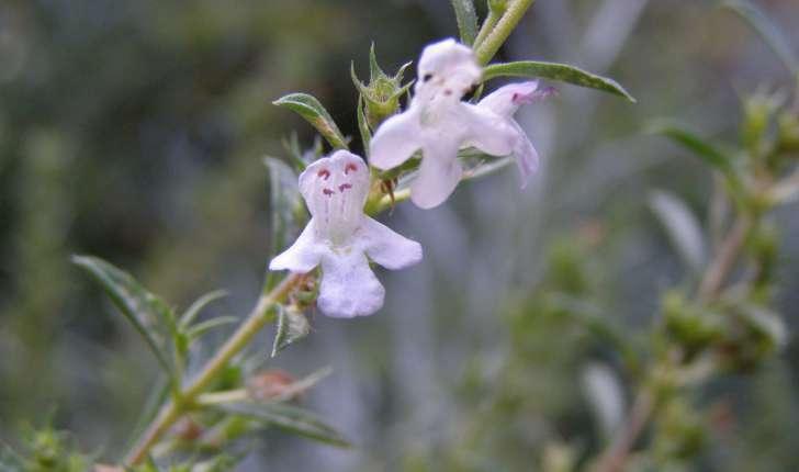 Satureja montana (L., 1753)