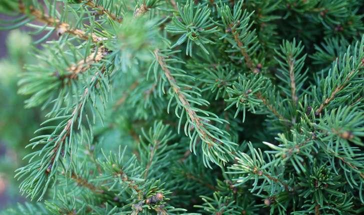 Picea abies ((L.) H.Karst., 1881)
