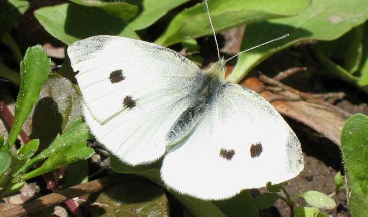 Pieris rapae (Linnaeus, 1758)