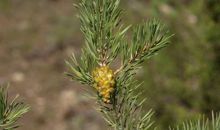 Pinus uncinata (Domin, 1936)