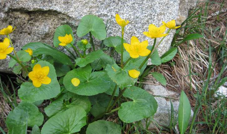 Caltha palustris (L., 1753)