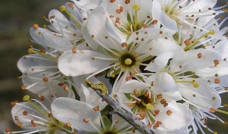 Prunus spinosa (Linné, 1090)