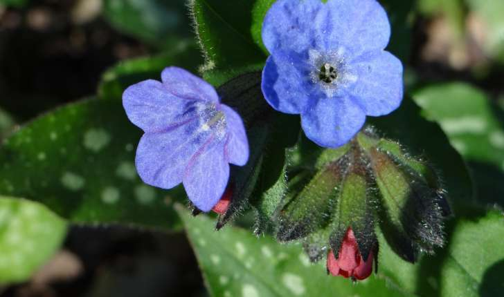 Pulmonaria affinis Jord.