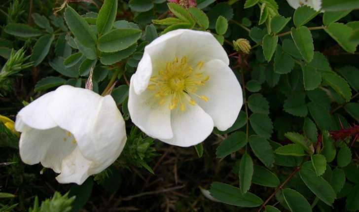 Rosa pimpinellifolia (L., 1753)