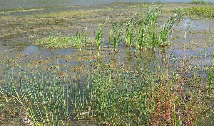 Arundo sp. (L.1753)