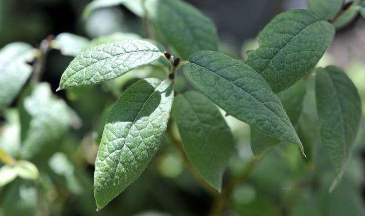 Salix lapponum (L., 1753)