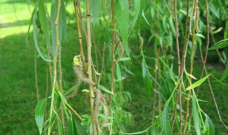 Salix babylonica (L., 1753)