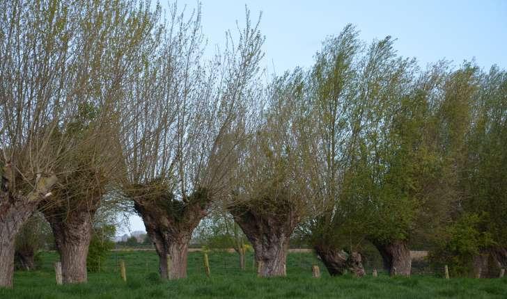 Salix alba (L., 1753)