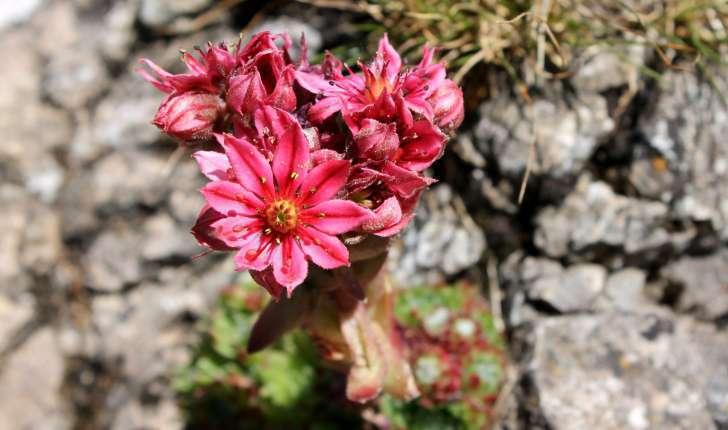 Sempervivum sp.