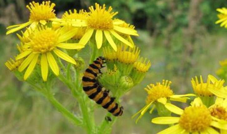 Senecio jacobaea (L., 1827)