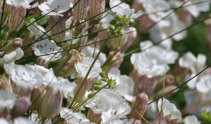 silene uniflora subsp. uniflora (Roth.)