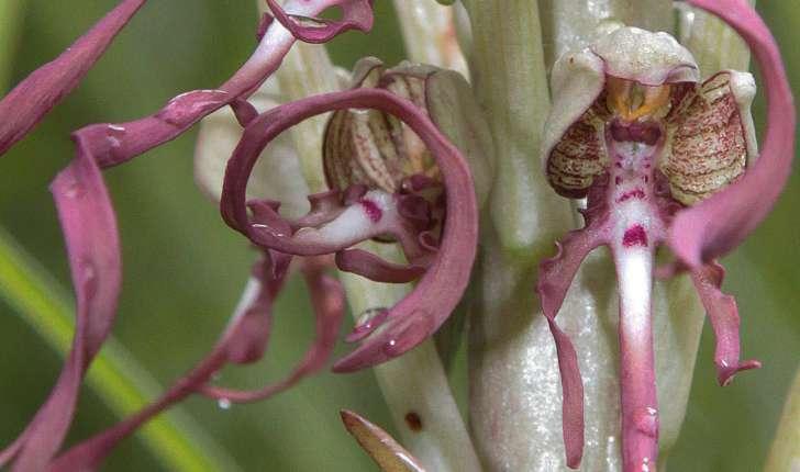 Himantoglossum hircinum (L. Spreng, 1826)