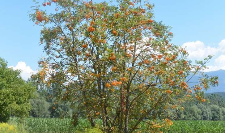 Sorbus aucparia L.
