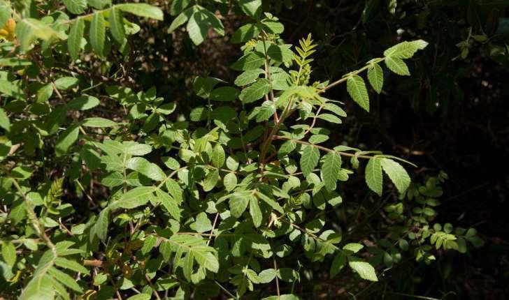 Rhus coriaria (Linné, 1758)