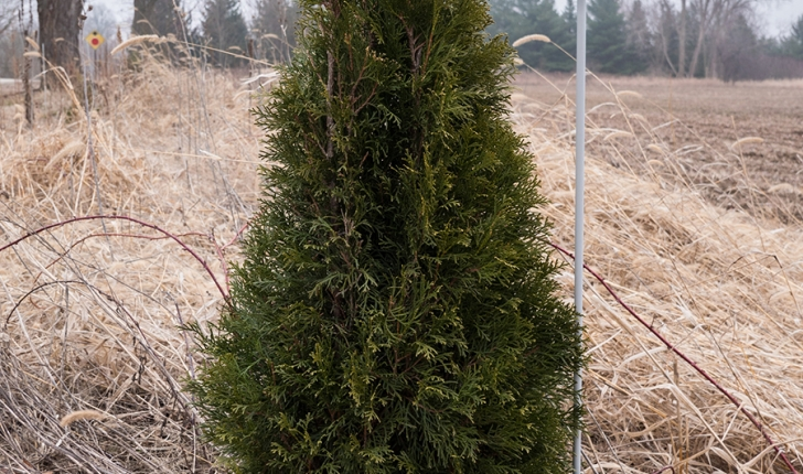 Thuja occidentalis, Linné 1753