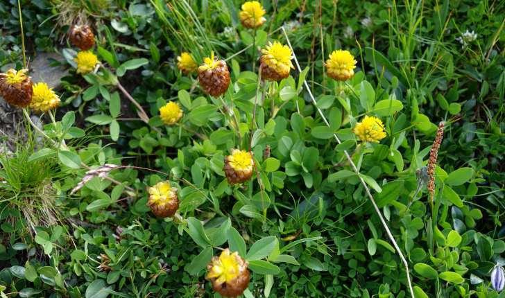 Trifolium badium Schreb., 1804